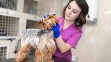 Professional veterinary doctor vaccinates a small dog breed Yorkshire Terrier